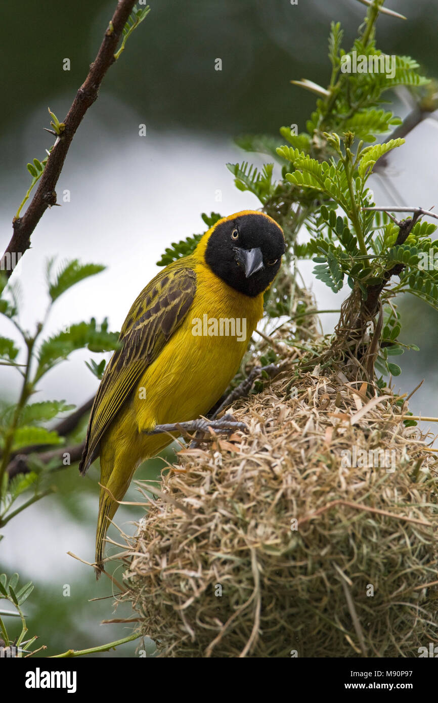 Mannetje Kleine Textorwever bij nest Namibie, Male Lesser Masked-Weaver at nest Namibia - Stock Image