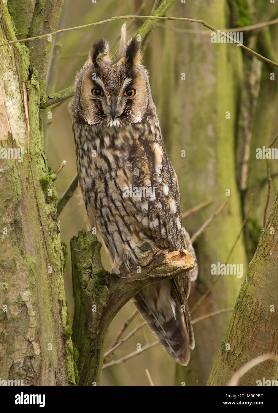 Long-eared Owl; Ransuil; Asio otus - Stock Image