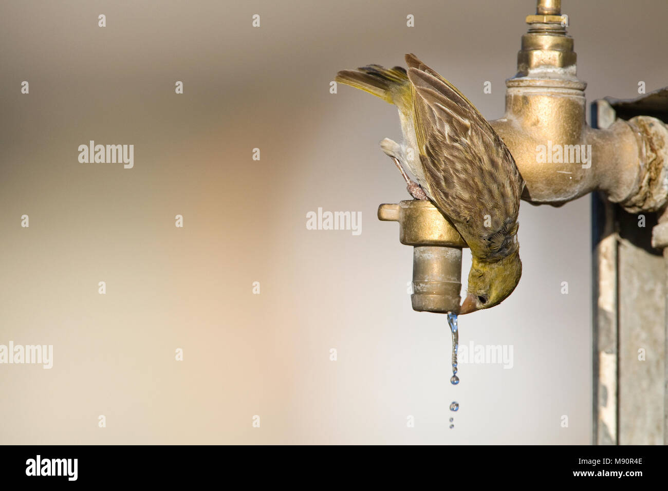 Vrouwtje Maskerwever drinkend uit druppende kraan Namibie, Female Southern Masked-Weaver drinking from tap Namibia - Stock Image