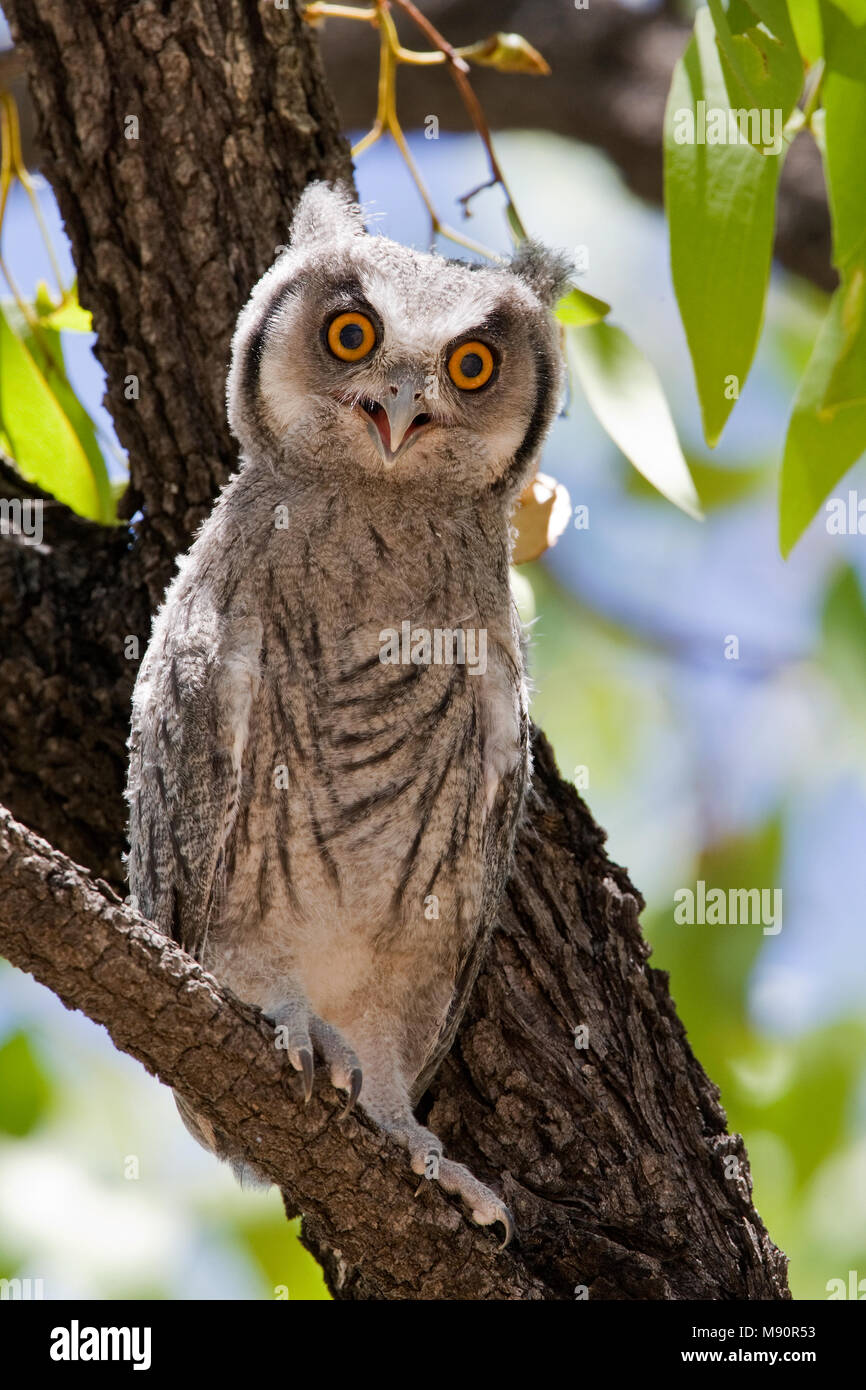 Witwangdwergooruil jong in boom Namibie, Southern White-faced Owl juveniel at tree Namibia - Stock Image