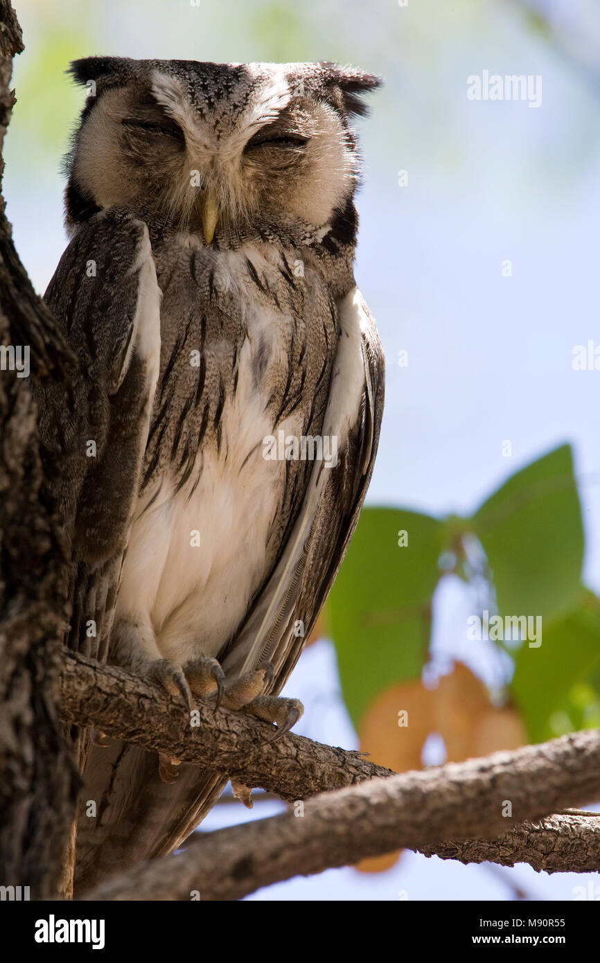 Witwangdwergooruil adult duttend in boom Namibie, Southern White-faced Owl adult dozing at tree Namibia - Stock Image
