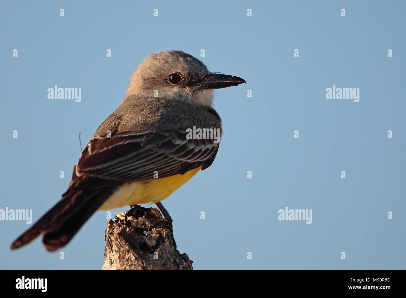 Tropische Koningstiran zittend op paal Mexico, Tropical Kingbird perched on pole Mexico - Stock Image