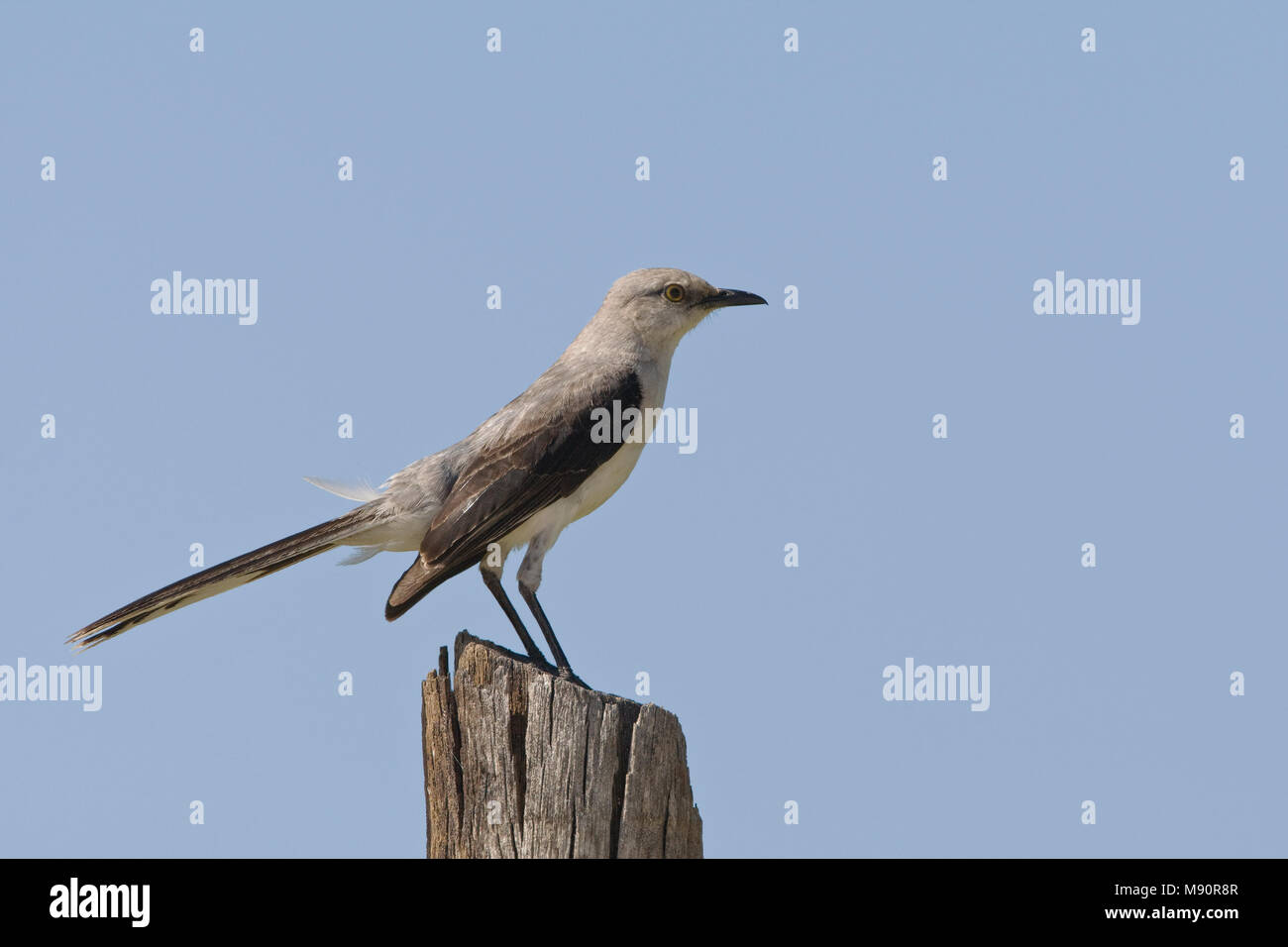 Tropische Spotlijster staand op paal Mexico, Tropical Mockingbird perched on pole Mexico - Stock Image