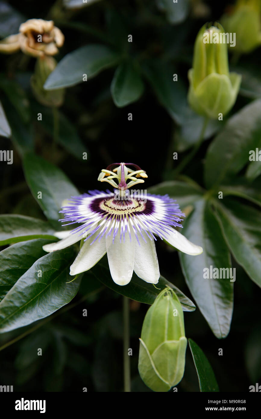 Passion flower in Paris, France. - Stock Image