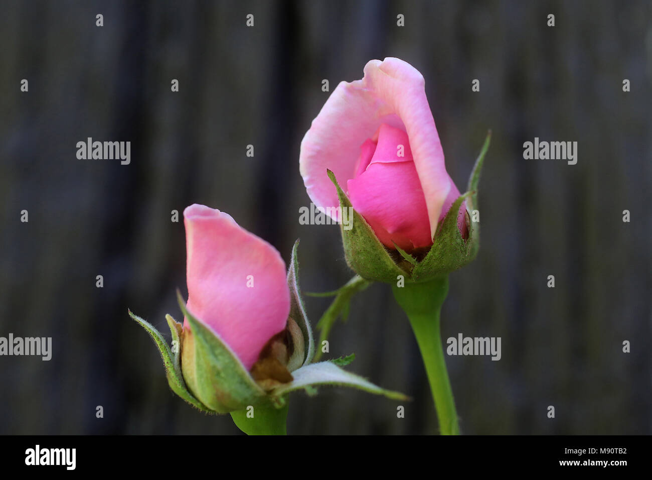 Budding roses. Eure, France. - Stock Image