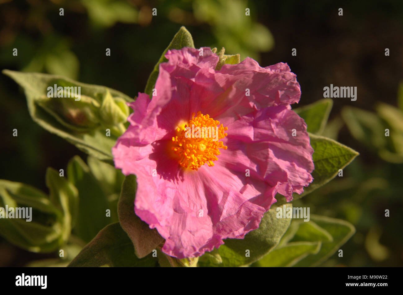 A rock rose with pink crinkly petals and orange stamen, bathed in bright mediterranean sunshine. - Stock Image