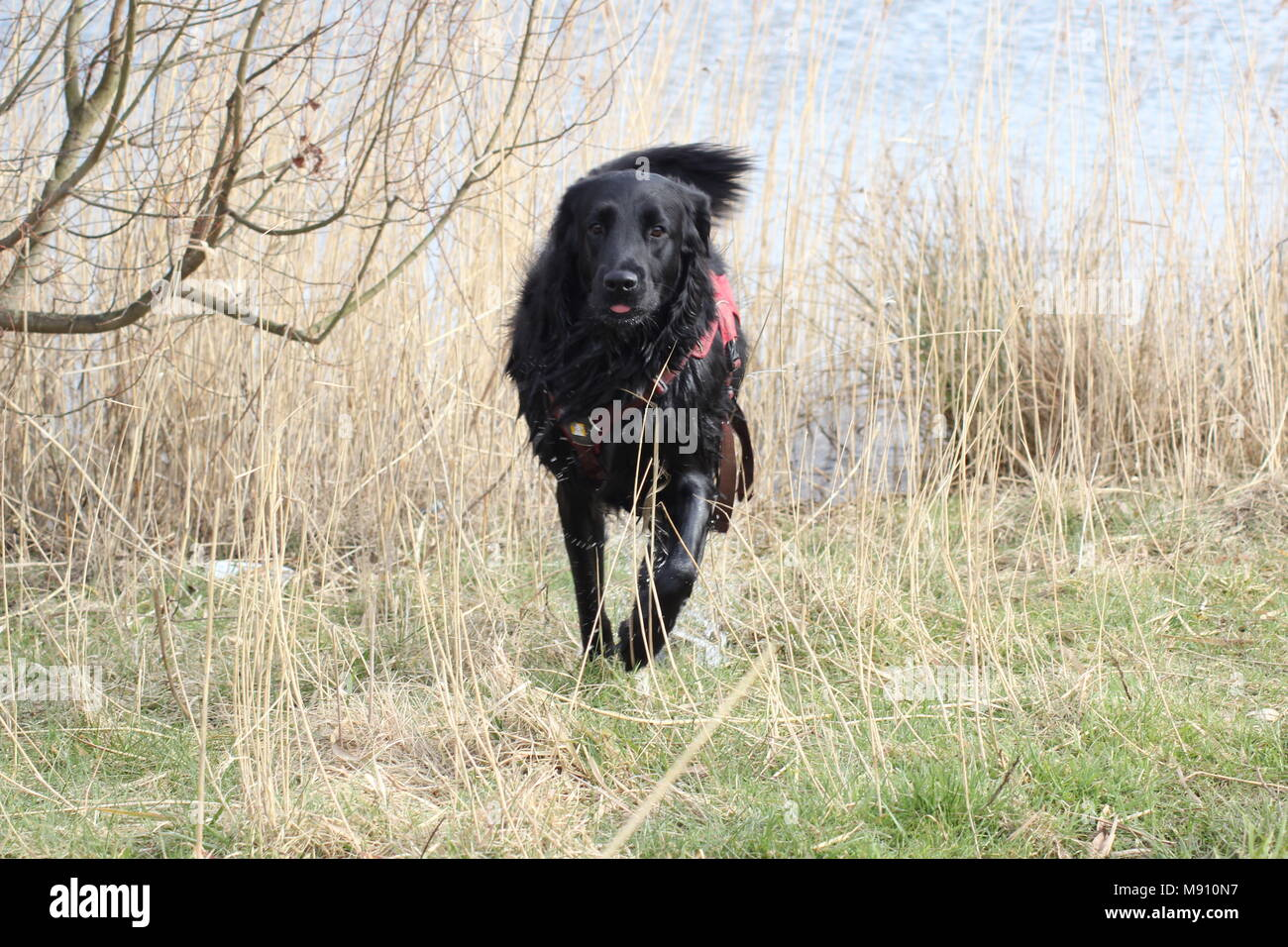 Dogs playing on a walk.  These are rescue dogs from cyprus. - Stock Image