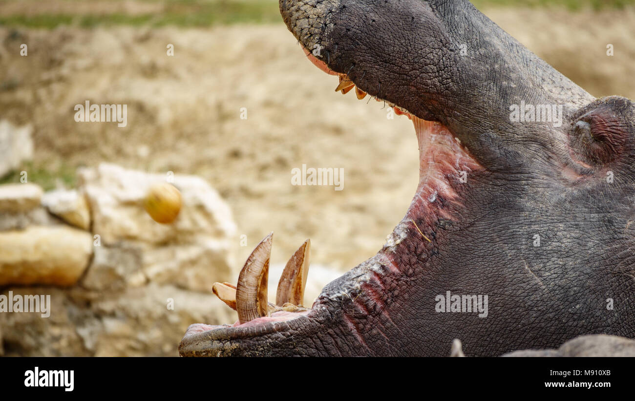 Hippo opening mouth - Stock Image
