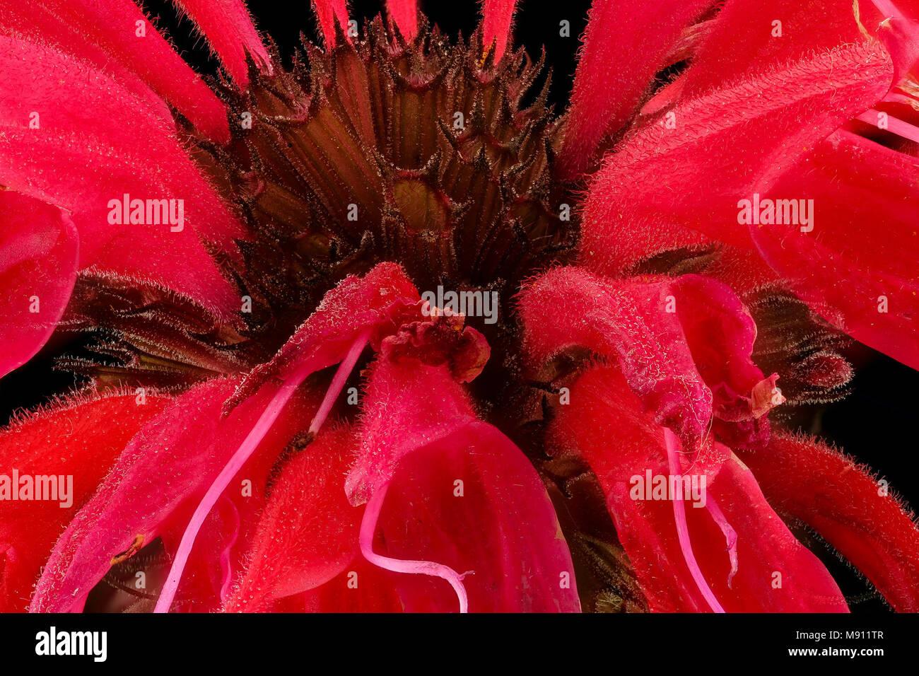 Bee Balm. Monarda didyma, Beebalm, Howard County, MD, - Stock Image