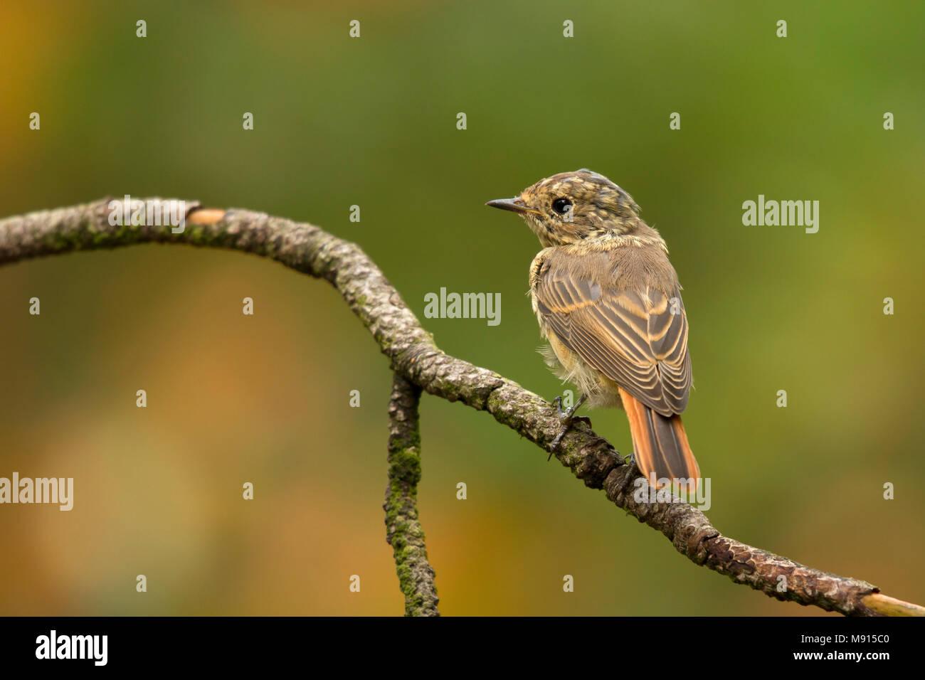 gekraagde roodstaart zittend op tak; Common redstart sitting on pearch; - Stock Image