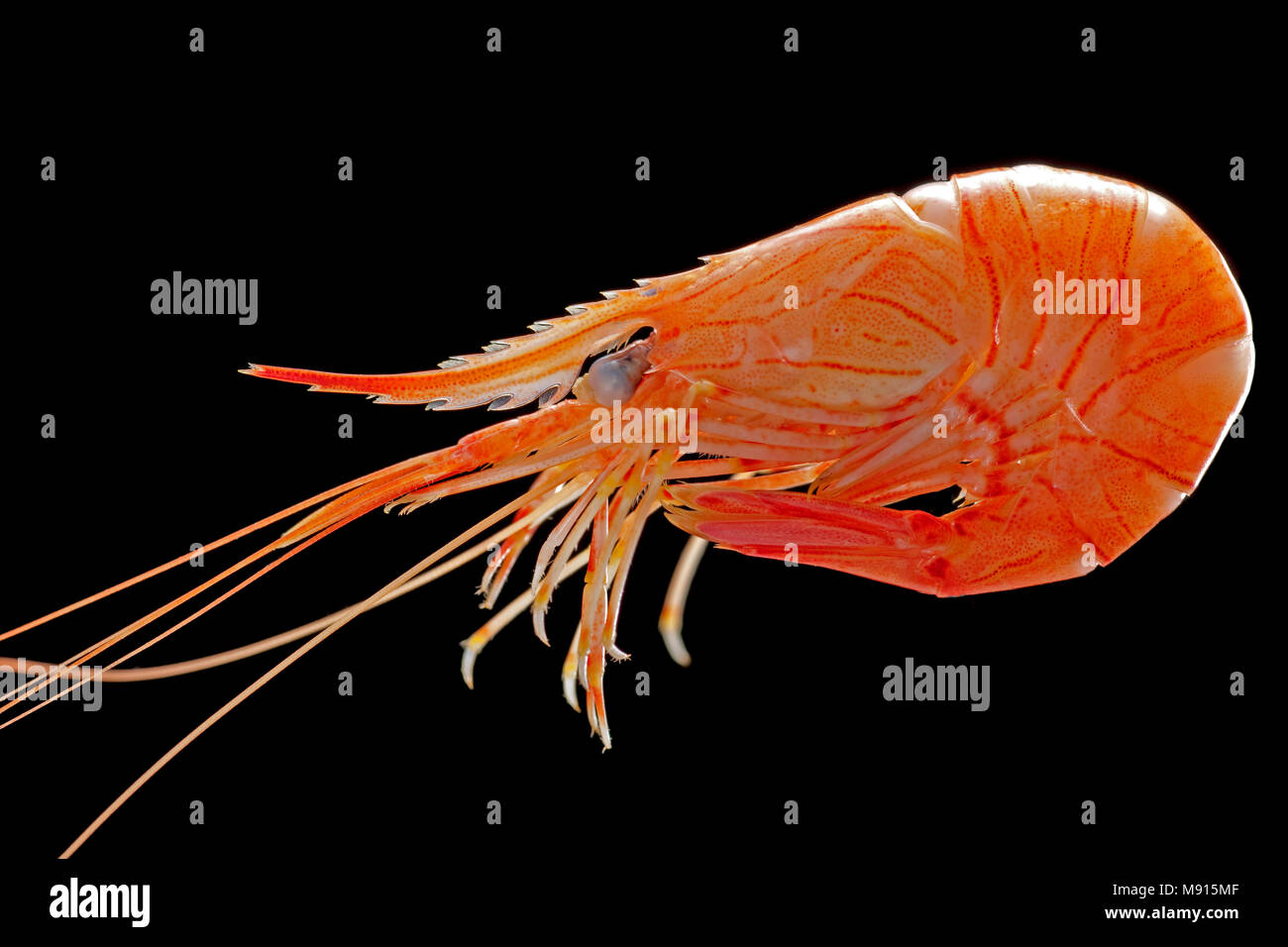 A single boiled common prawn, Palaemon serratus, caught in a prawn trap lowered of a pier, Weymouth Dorset England UK GB. Black background - Stock Image