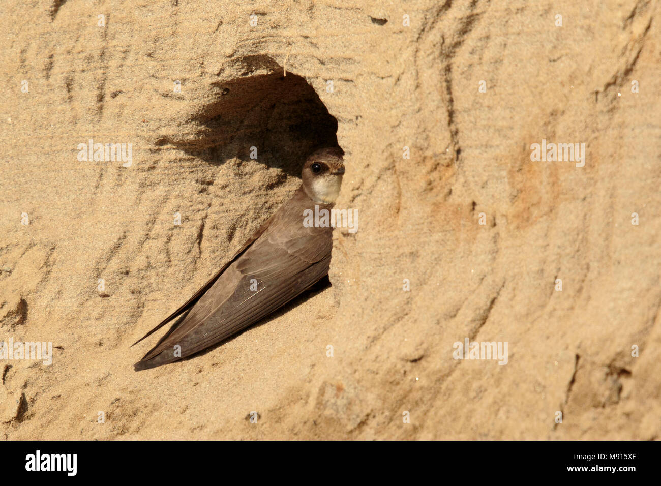 Oeverzwaluw zittend voor nest ingang; Sand martin sitting in front of nest Stock Photo