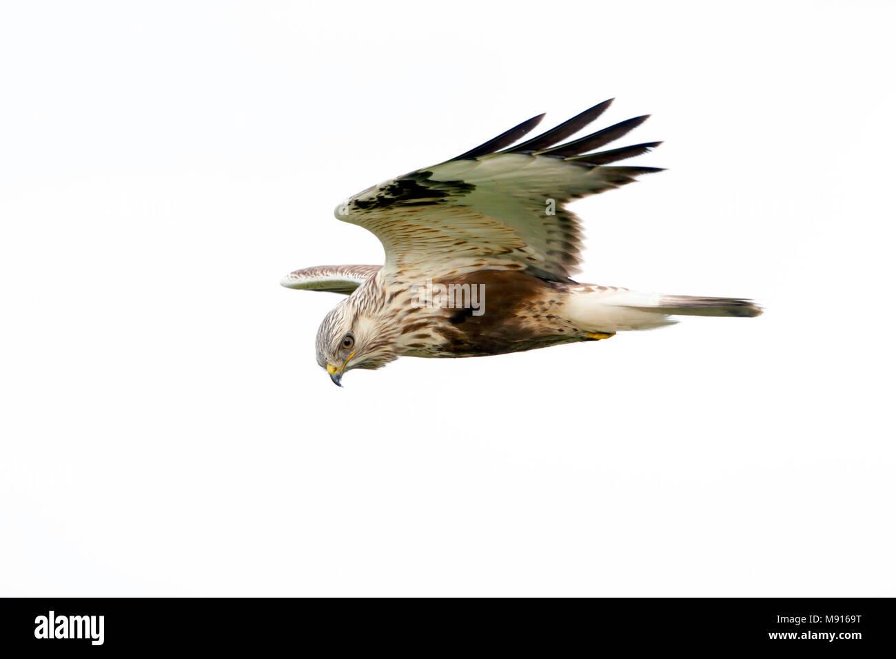 Ruigpootbuizerd vliegend, Rough-legged Buzzard flying, - Stock Image