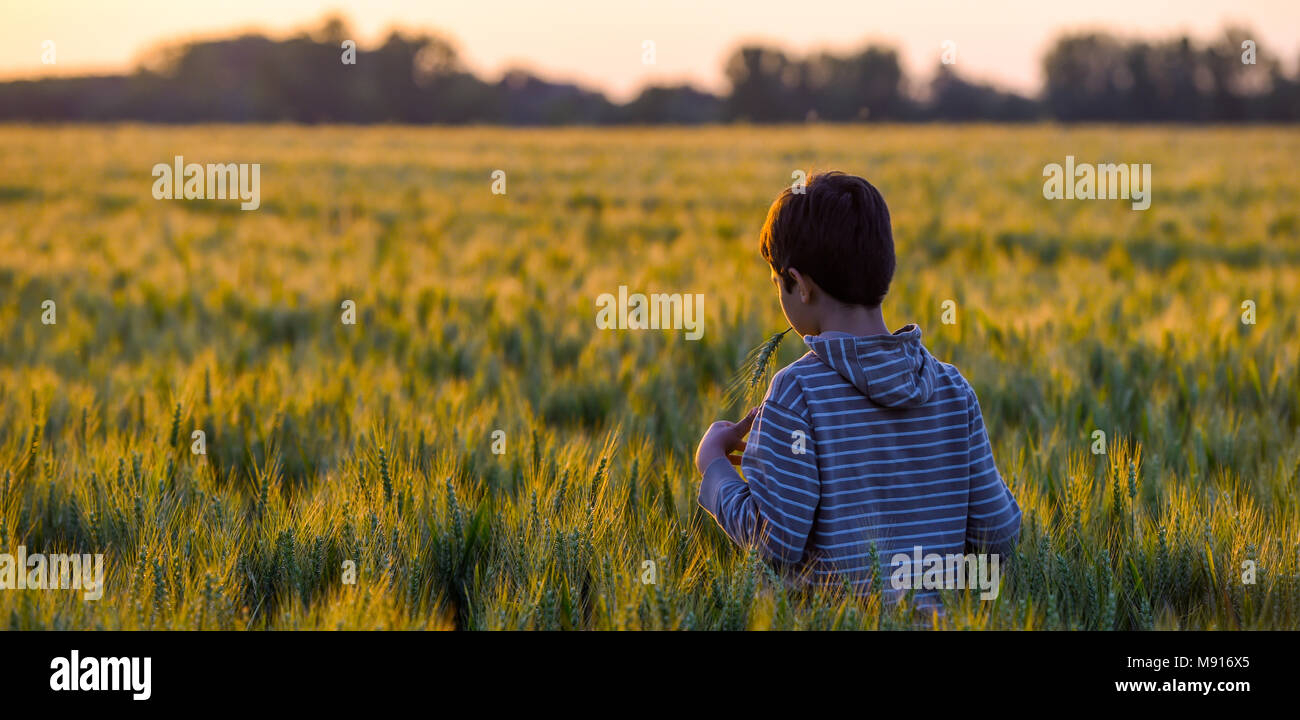 Little boy through a wheat field at sunset - Stock Image