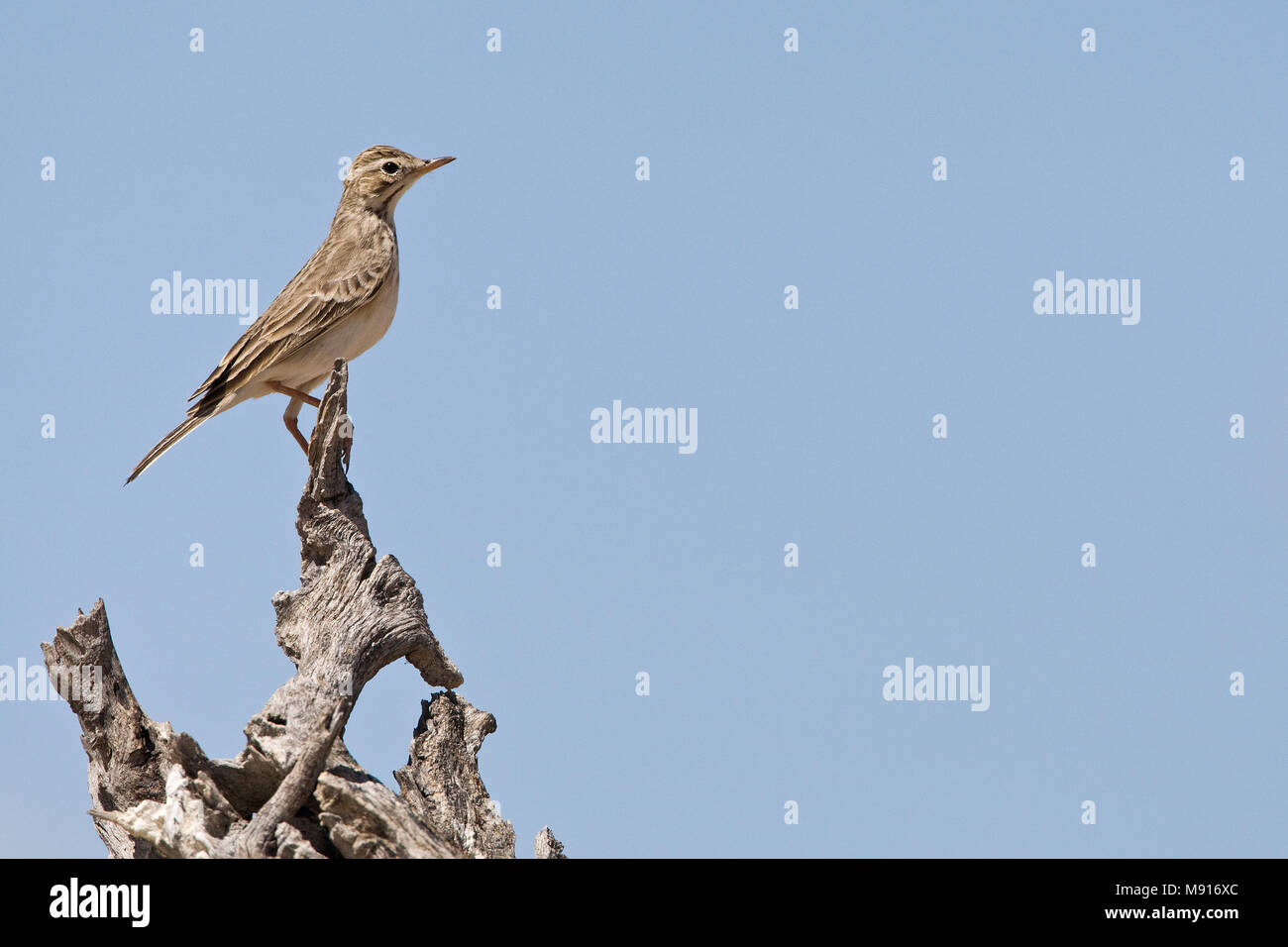 Kaneelpieper zittend op stronk Etosha NP Namibie, African Pipit perched at trunk Etosha NP Namibia - Stock Image