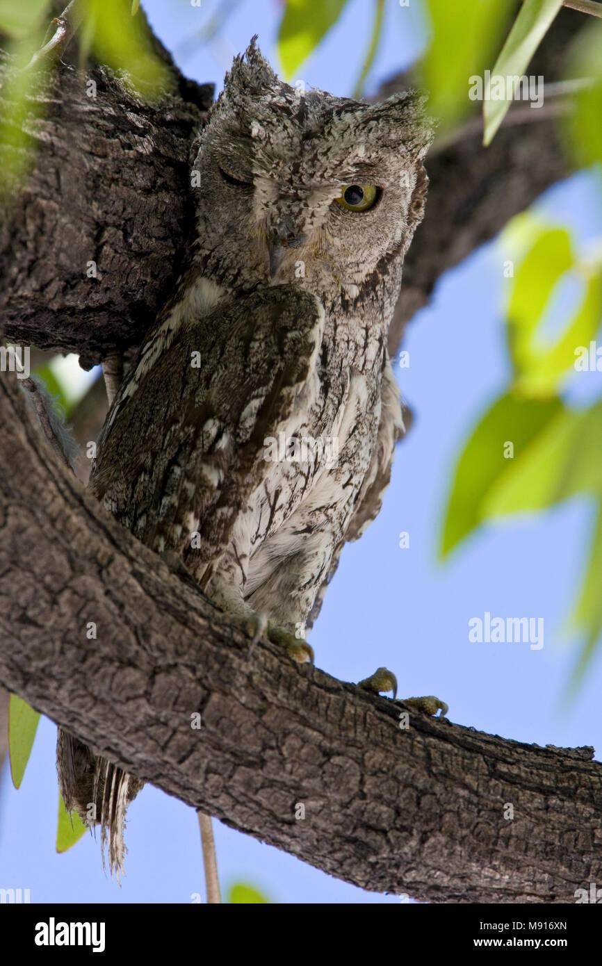Afrikaanse Dwergooruil in boom Namibie, African Scops-Owl in tree Namibia - Stock Image