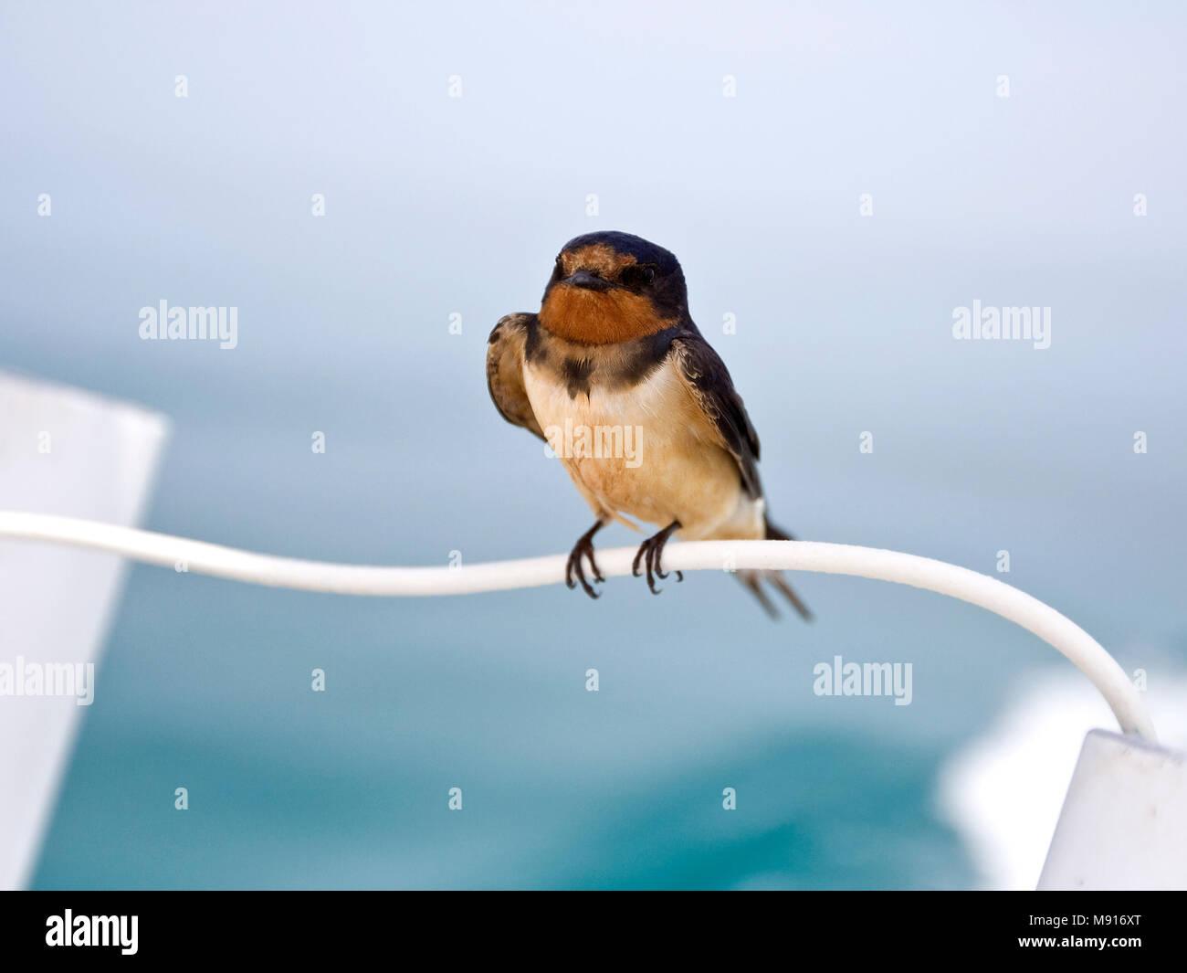 Amerikaanse Boerenzwaluw (ondersoort erythrogaster) uitrustend op reling van schip Yucatan Mexico, American Barn Swallow (subspecies erythrogaster) re - Stock Image