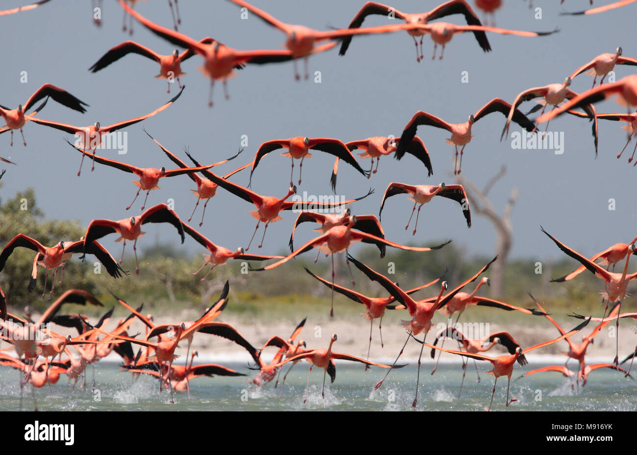 Rode Flamingo een groep in vlucht Mexico, American Flamingo a flock in flight Mexico Stock Photo