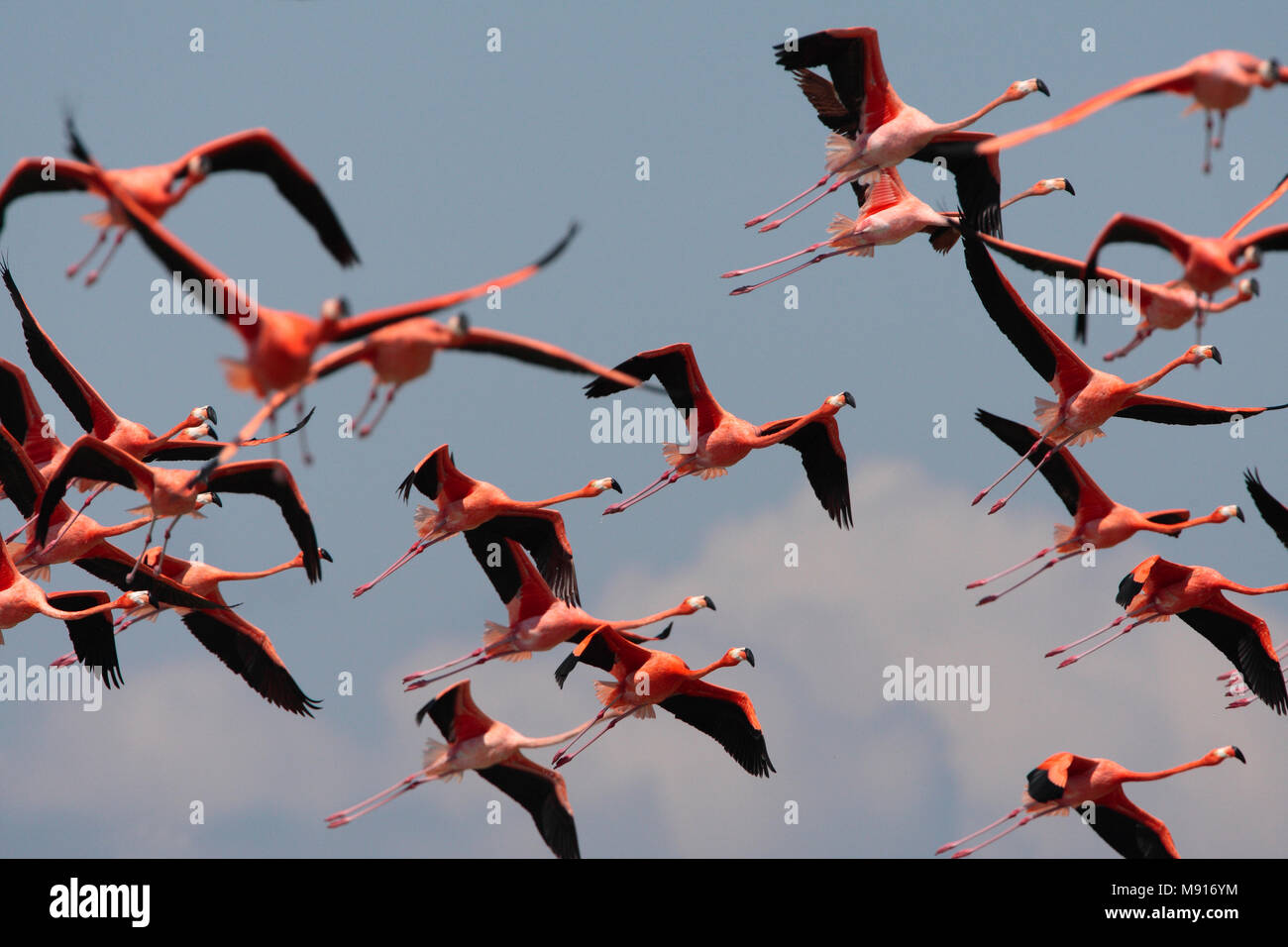 Rode Flamingo een groep in vlucht Mexico, American Flamingo a flock in flight Mexico - Stock Image
