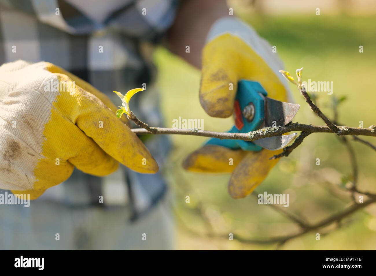 Close up of a mna pruning a tree in spring - Stock Image