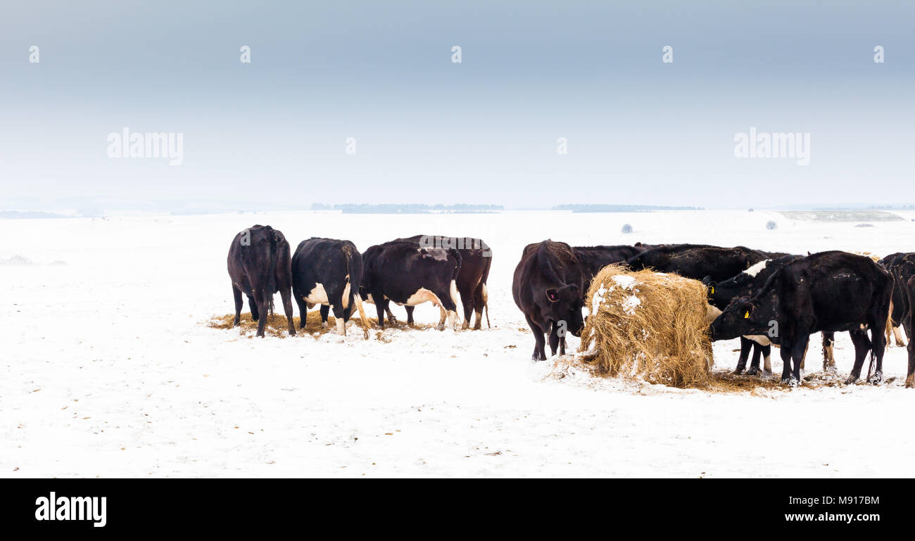 Cattle survive the harsh conditions on Salisbury Plain - Stock Image