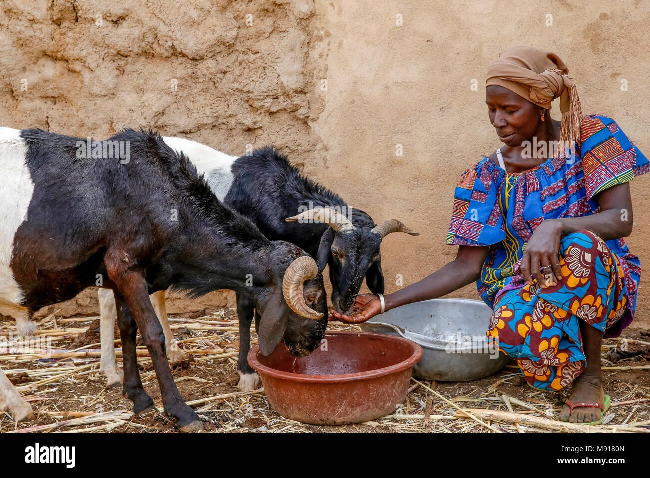 UBTEC NGO in a village near Ouahigouya, Burkina Faso. Cattle breeder Animata Guiro. - Stock Image