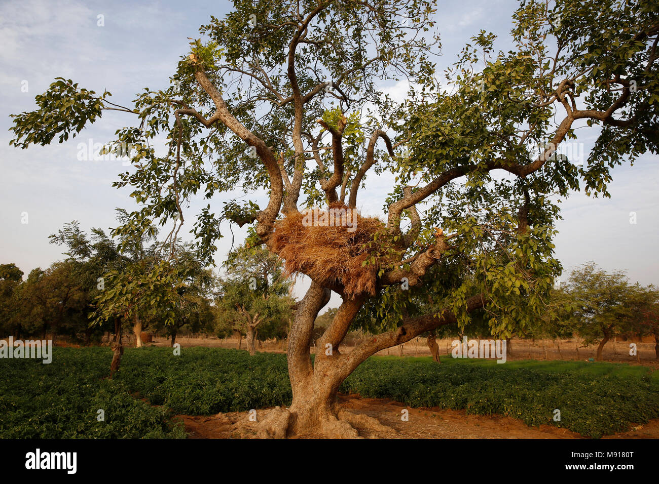 Burkina Faso. Cattle fodder kept on tree branches. - Stock Image