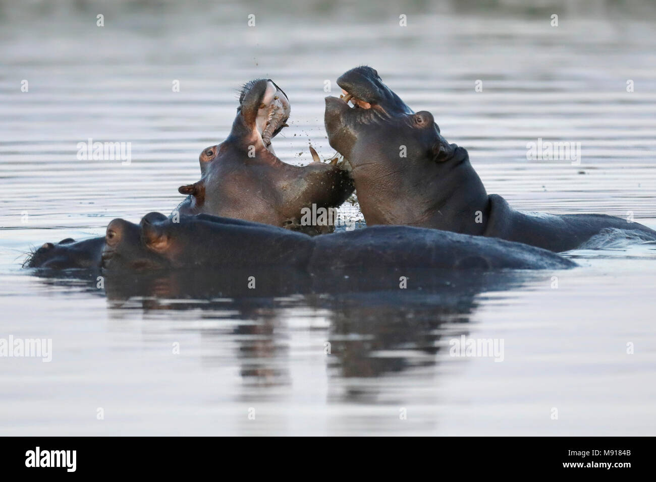 Hippopotamus at Dusk in the Moremi Game Reserv, Botswana. - Stock Image