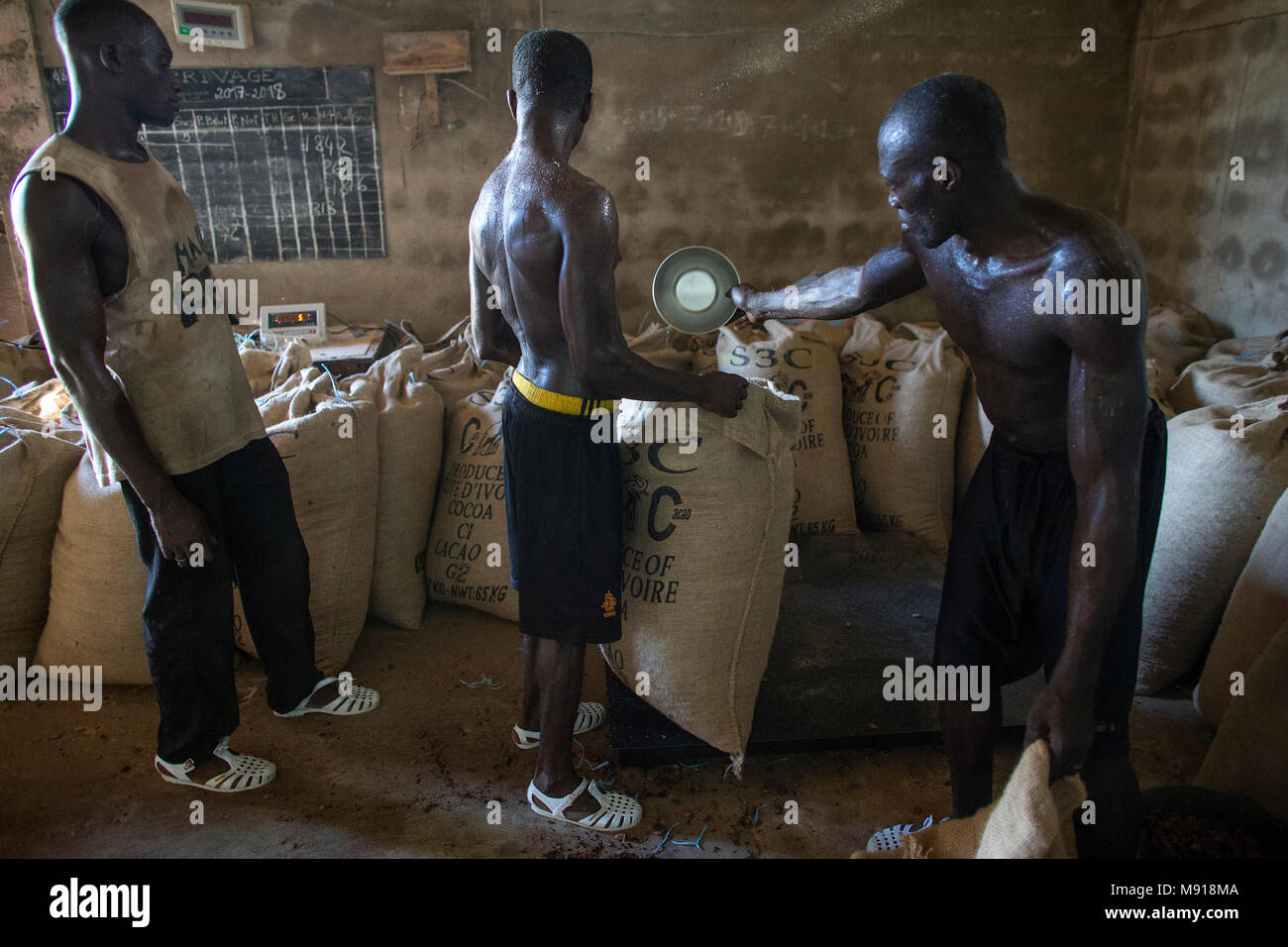 Ivory Coast. Workers filling and weighing cocoa bags. - Stock Image