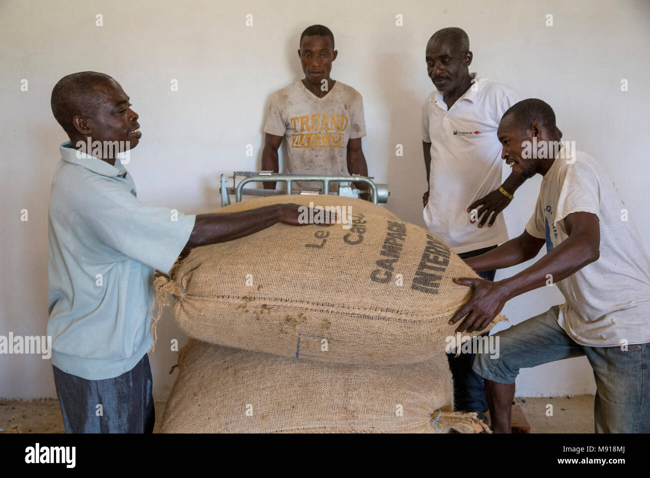 Ivory Coast. Producers (cooperative members) weighing cocoa bags. - Stock Image