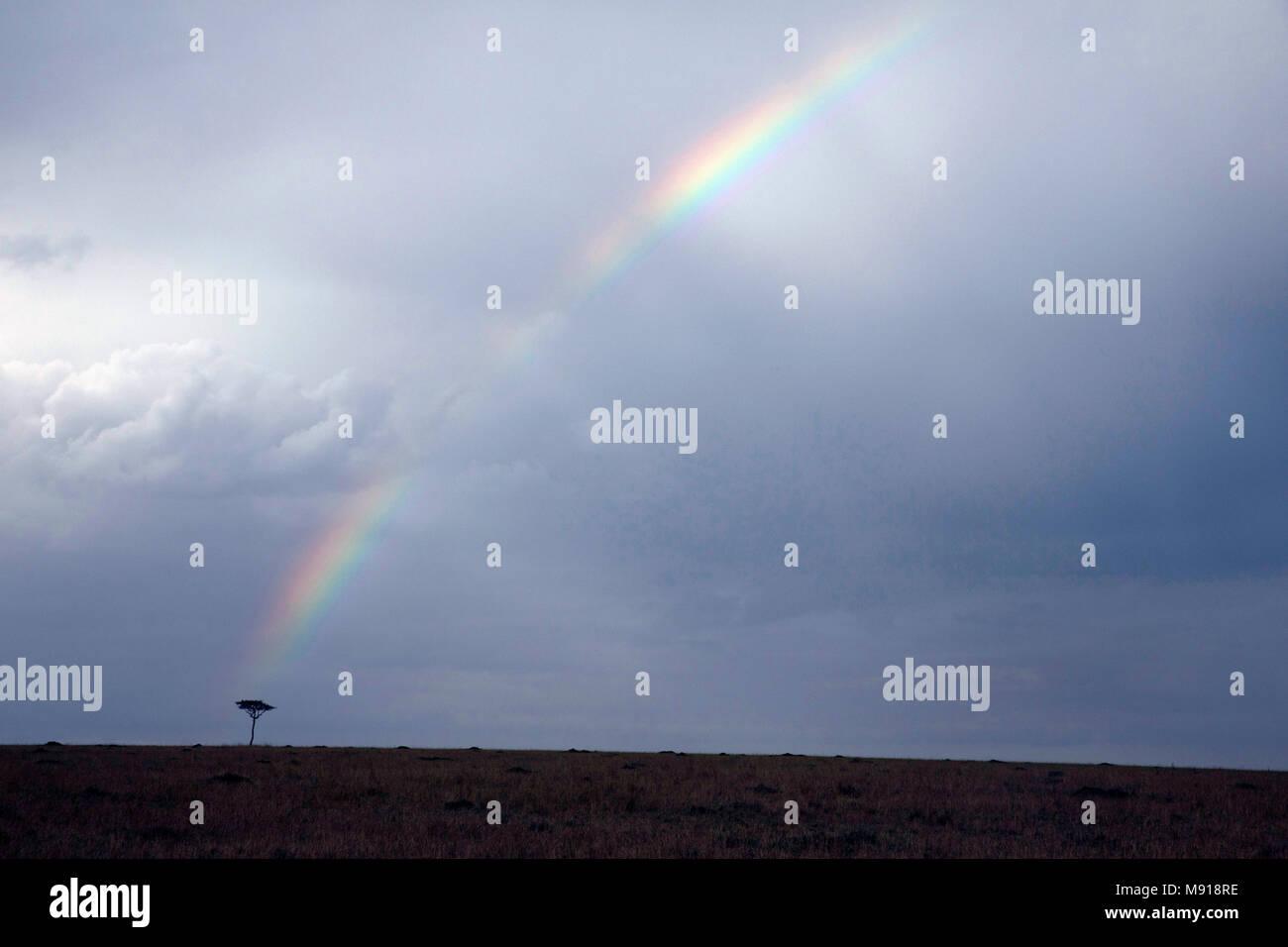 Rainbow over acacia tree on savanna. Masai Mara game reserve. Kenya. - Stock Image