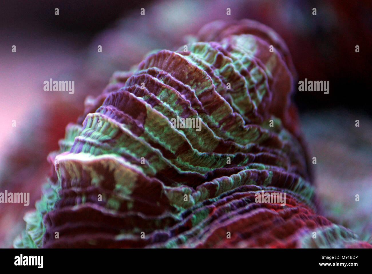 Open brain LPS coral in reef aquarium tank Stock Photo