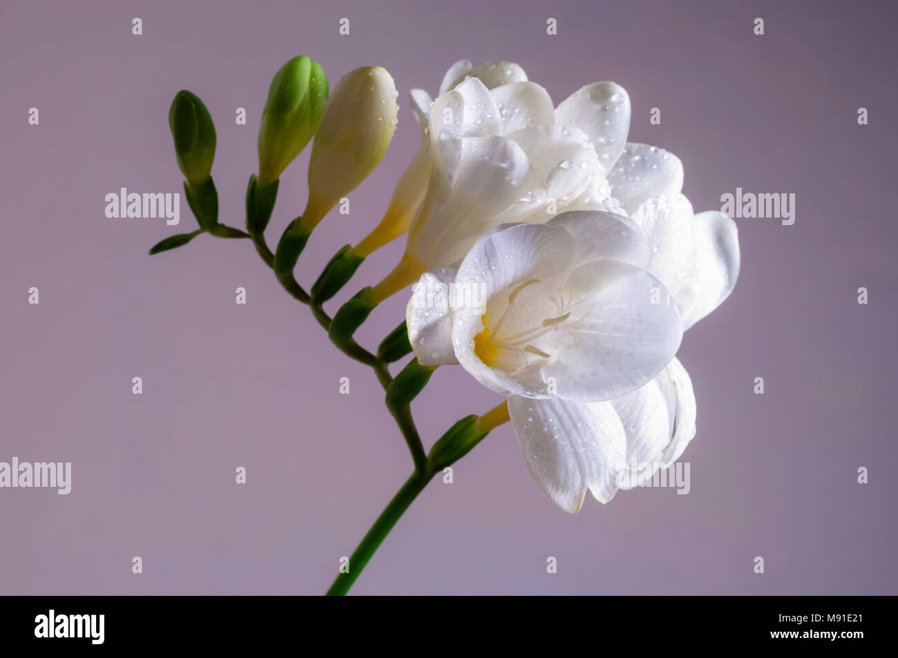 Freesia flower stock photos freesia flower stock images alamy white blooming freesia flower with water drops close up stock image mightylinksfo