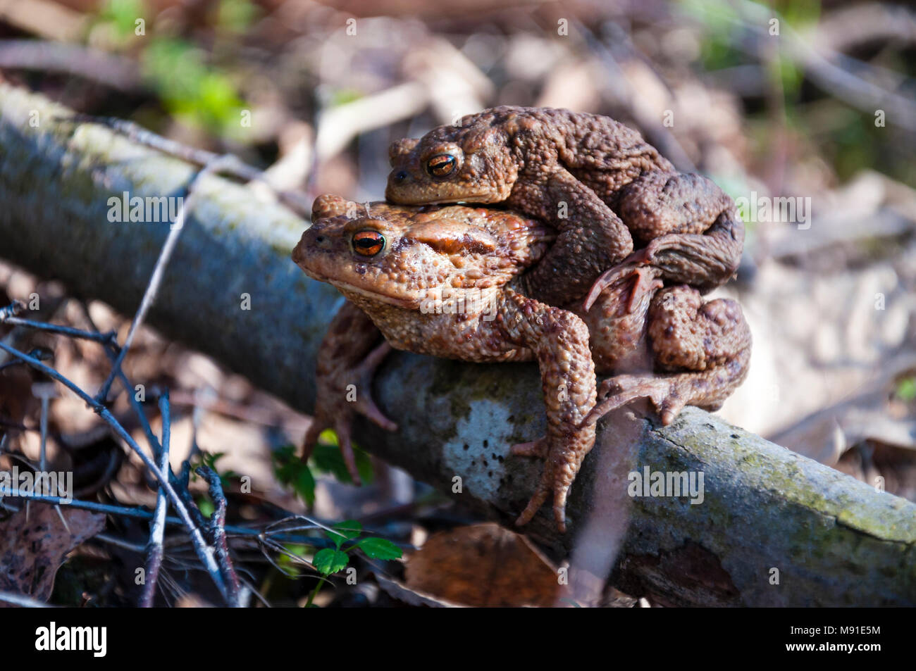 Common toads Bufo bufo pairing - Stock Image