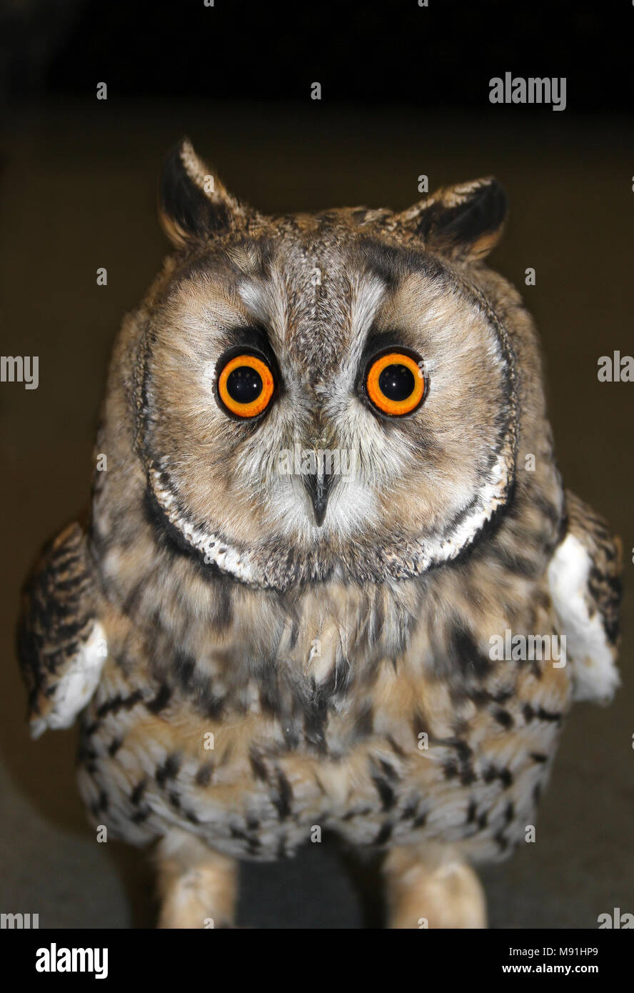 Long Eared Owl Asio otus Face Shot - Stock Image
