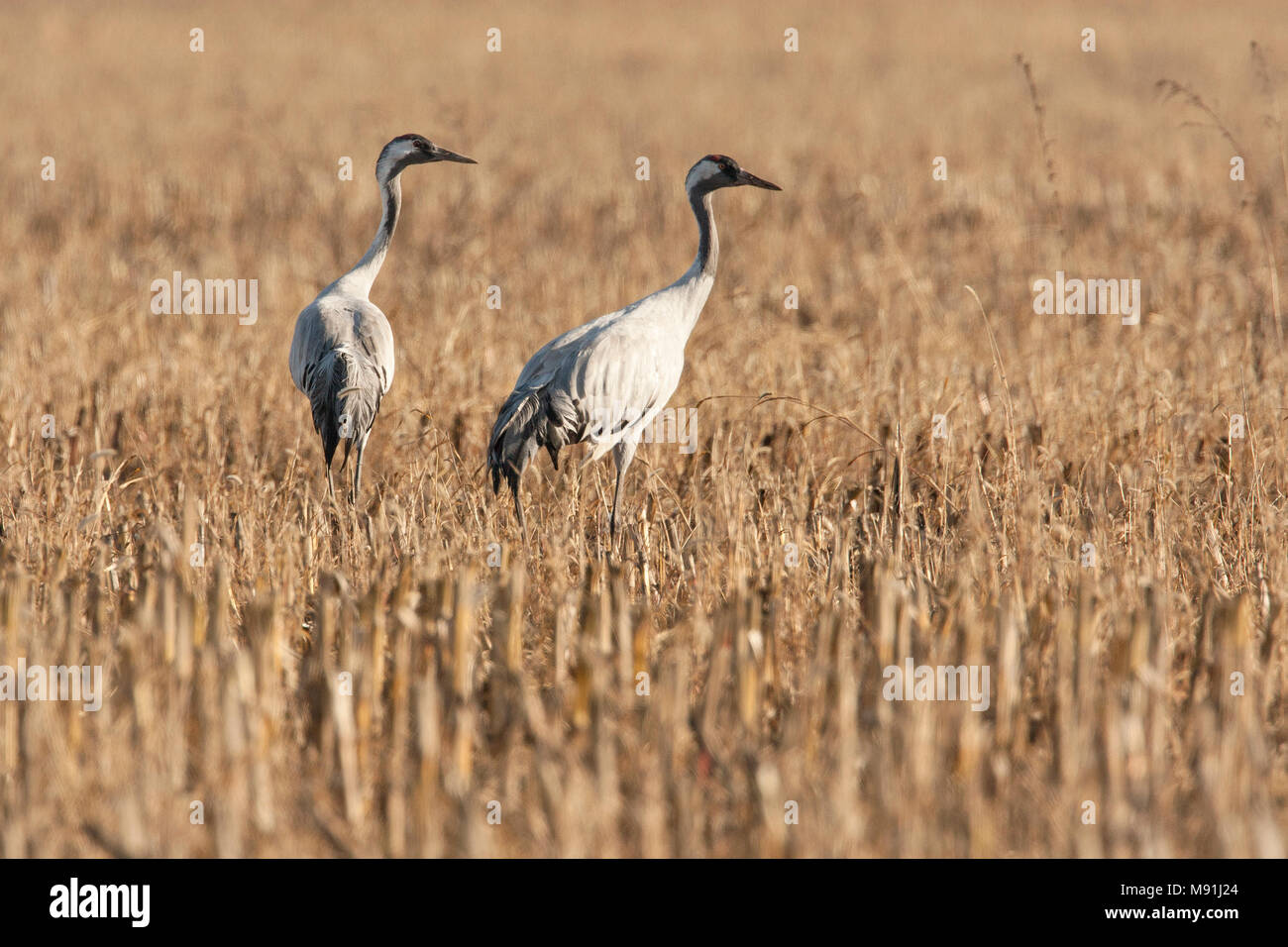 Kraanvogels tijdens de najaarstrek, Common Cranes during migration - Stock Image