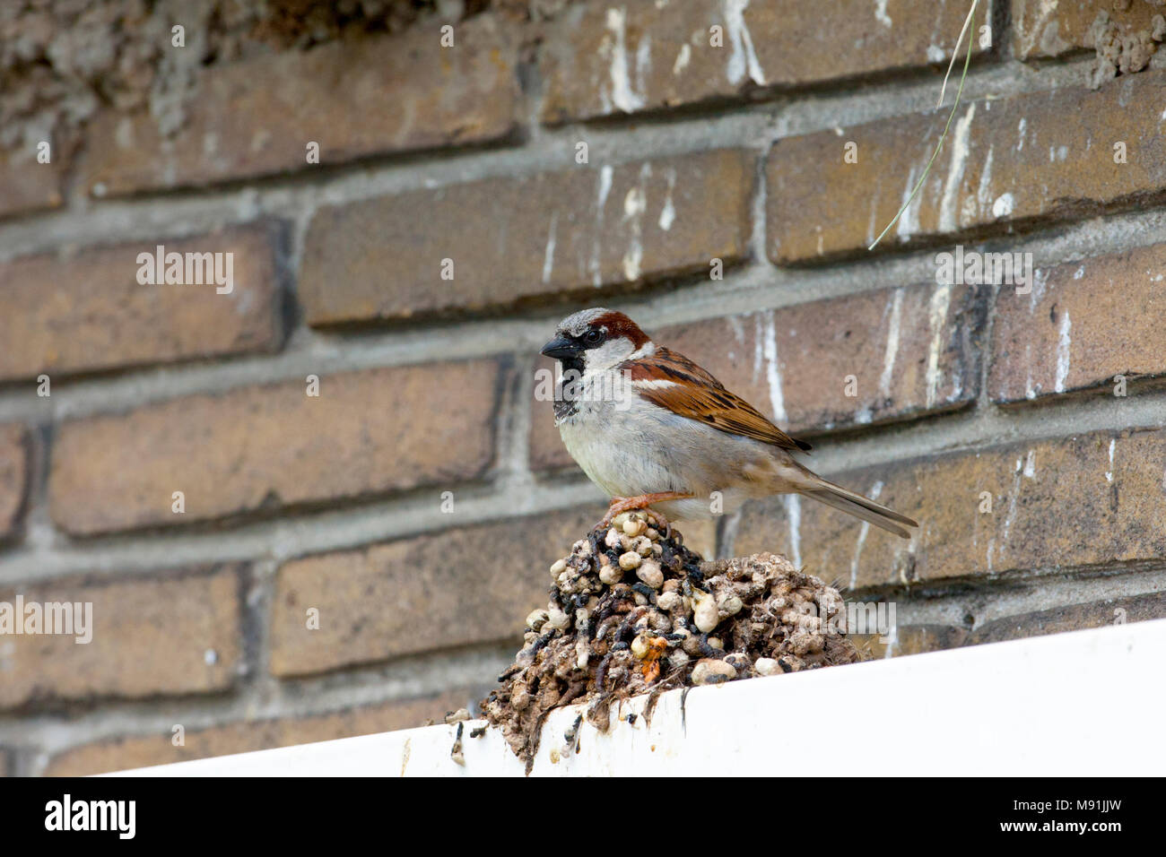 Mannetje Huismus op een berg huiszwaluwen poep, Male House Sparrow perched on bird droppings - Stock Image