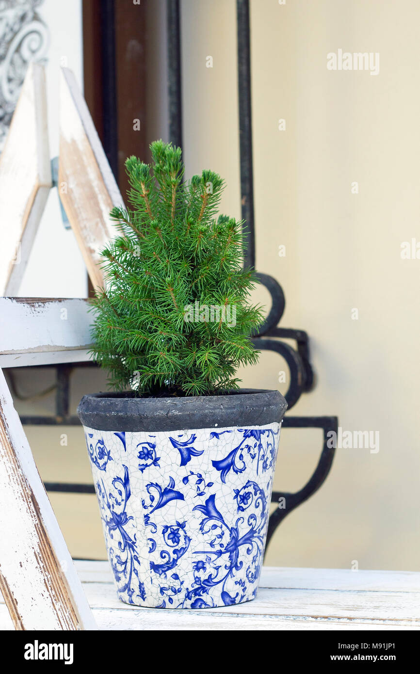 Abies small tree growing in flowerpot. Christmas tree in pot - Stock Image