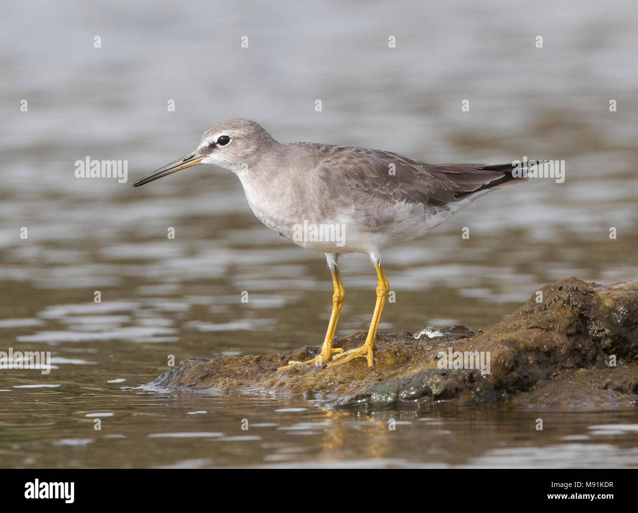 First-winter Grey-tailed Tattler (Tringa brevipes), as a vagrant on Terceira - Stock Image