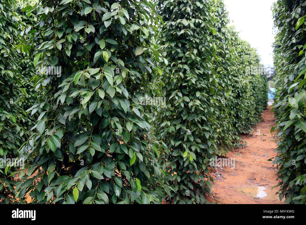 Black pepper plantation. Phu Quoc. Vietnam. - Stock Image