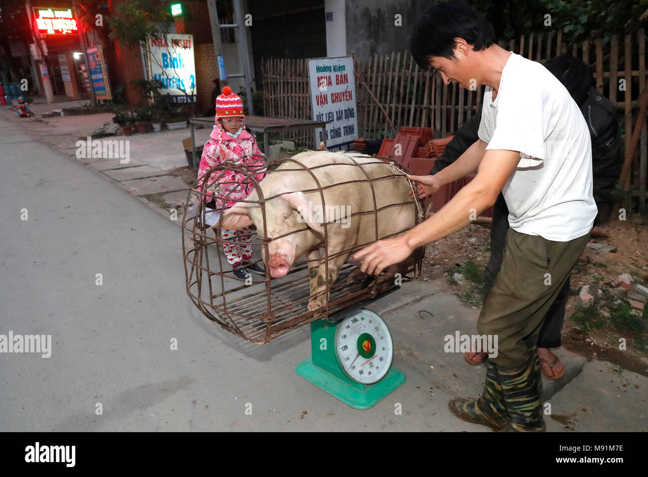 Pig on weight scale.  Bac Son. Vietnam. - Stock Image