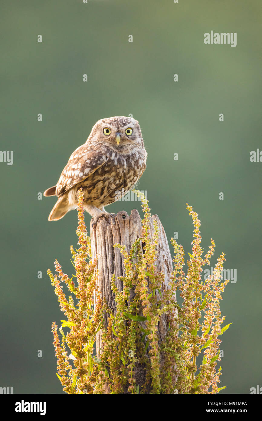 Little owl perched on a wooden post.  Looking straight at the camera with some lovely backlight - Stock Image