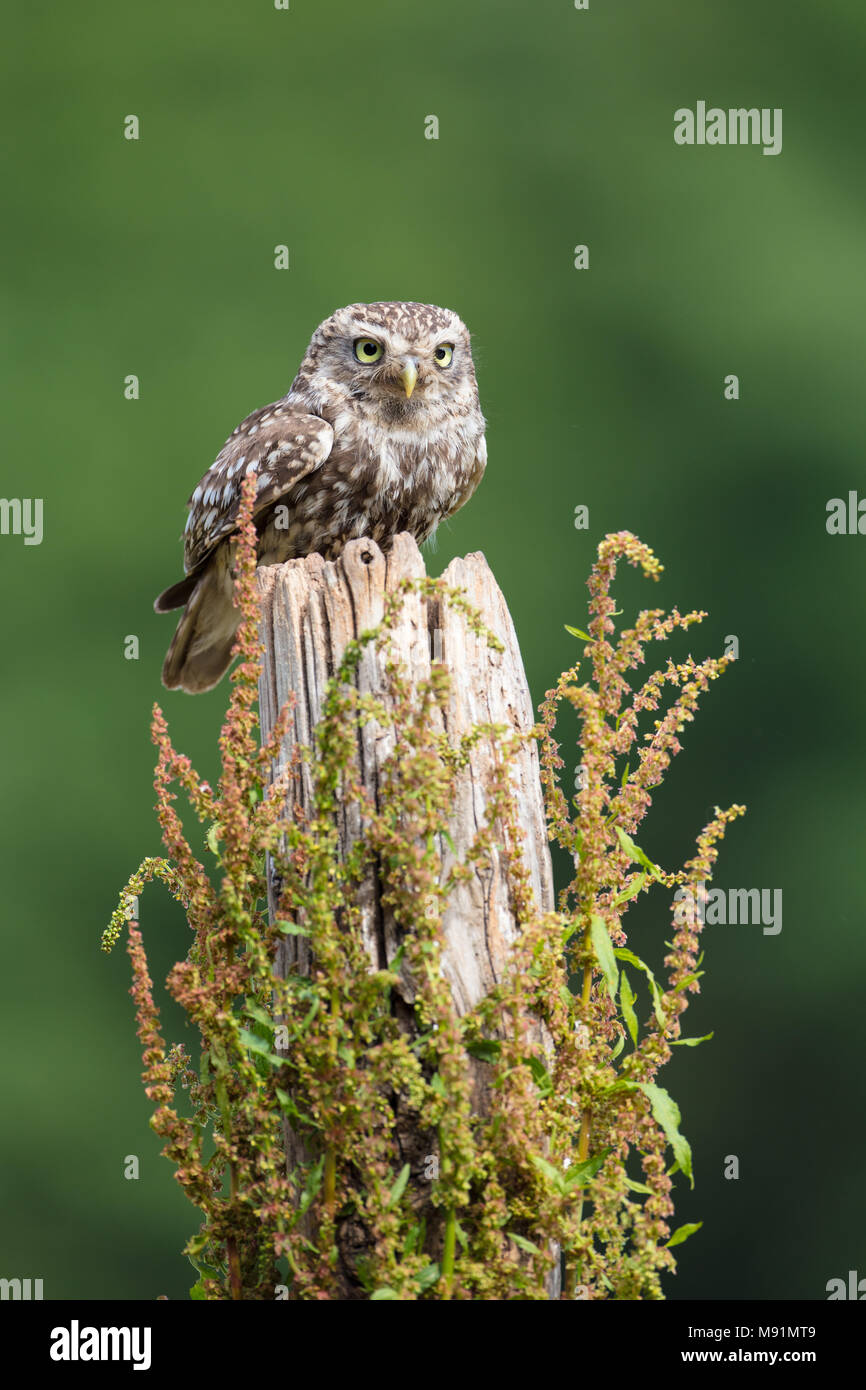 Little owl perched on a wooden post - Stock Image