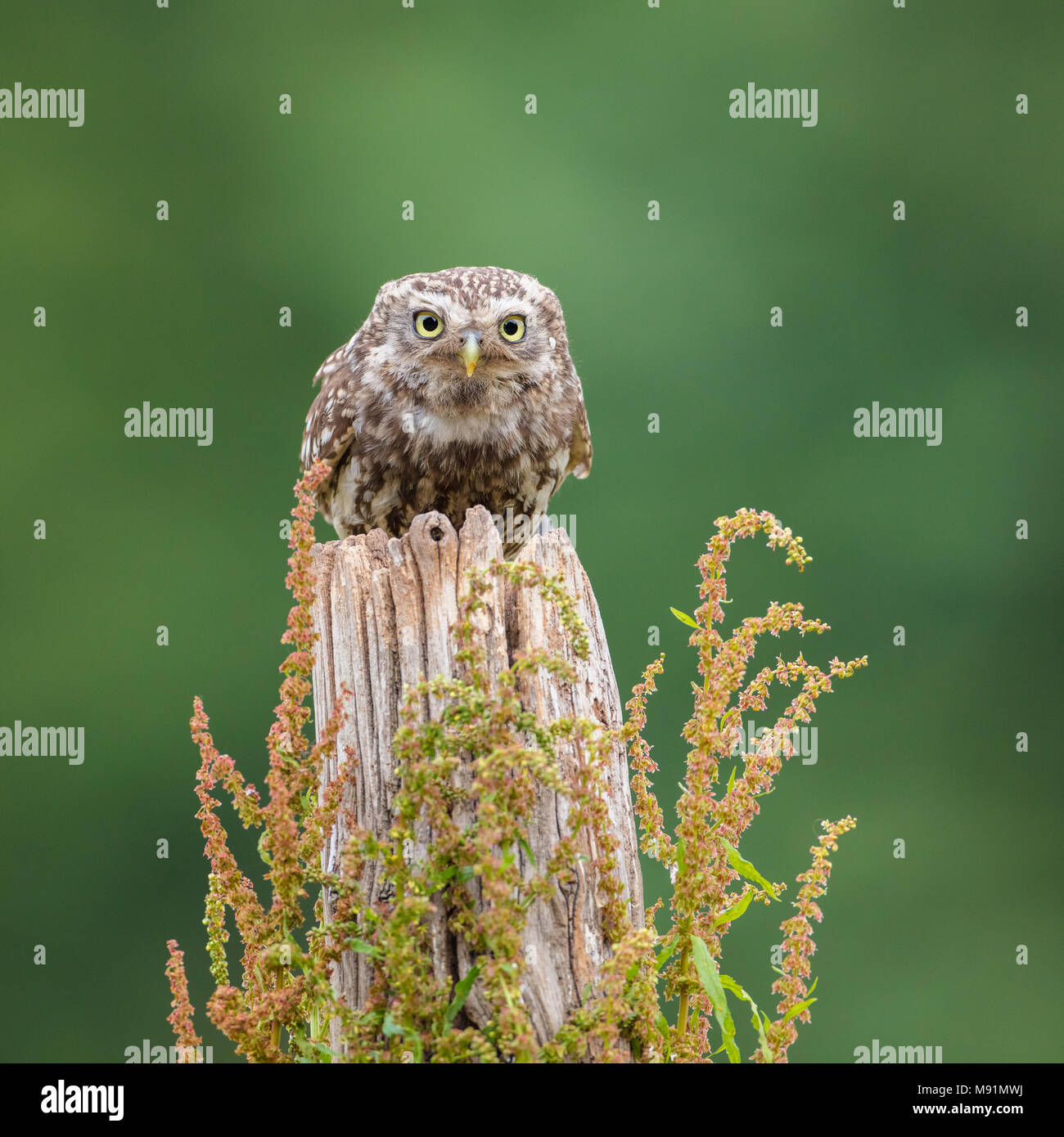 Perched little owl looking straight at the camera - Stock Image