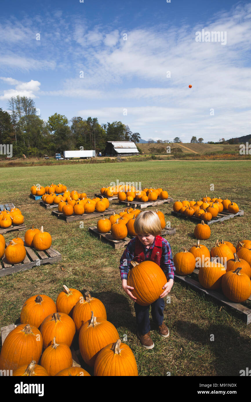 adorable cowboy boy tries to pick up big heavy pumpkin in pumpkin patch - Stock Image