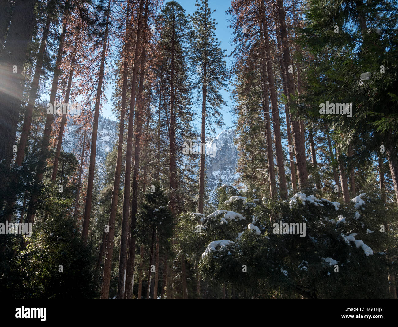 View of Tall Tress Covered in Snow with Large Mountains in the Background - Stock Image