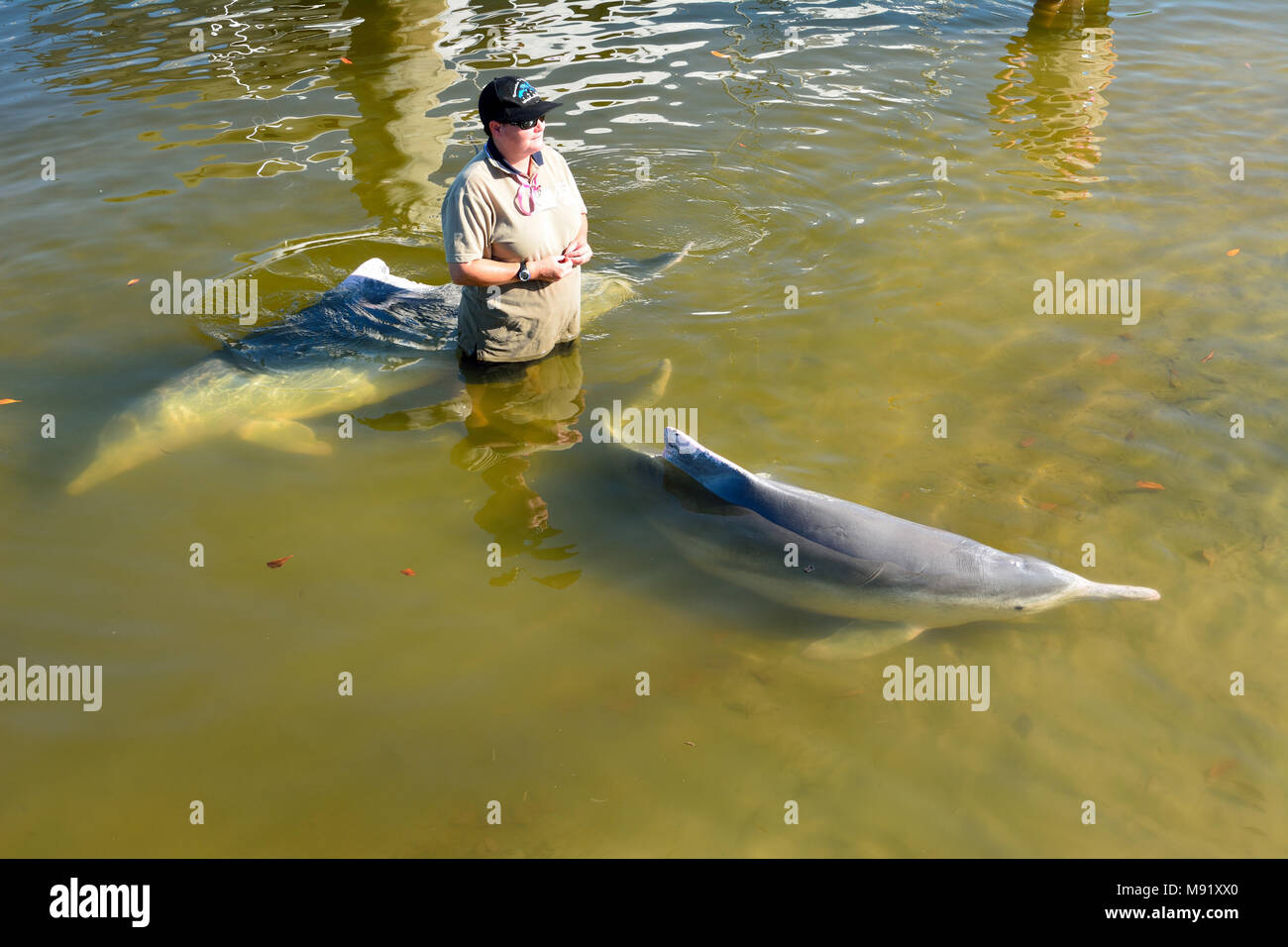 Tin Can Bay, Queensland, Australia - December 24, 2017. Barnacles Dolphin Centre volunteer standing in the water with two Australian Humpback dolphins - Stock Image