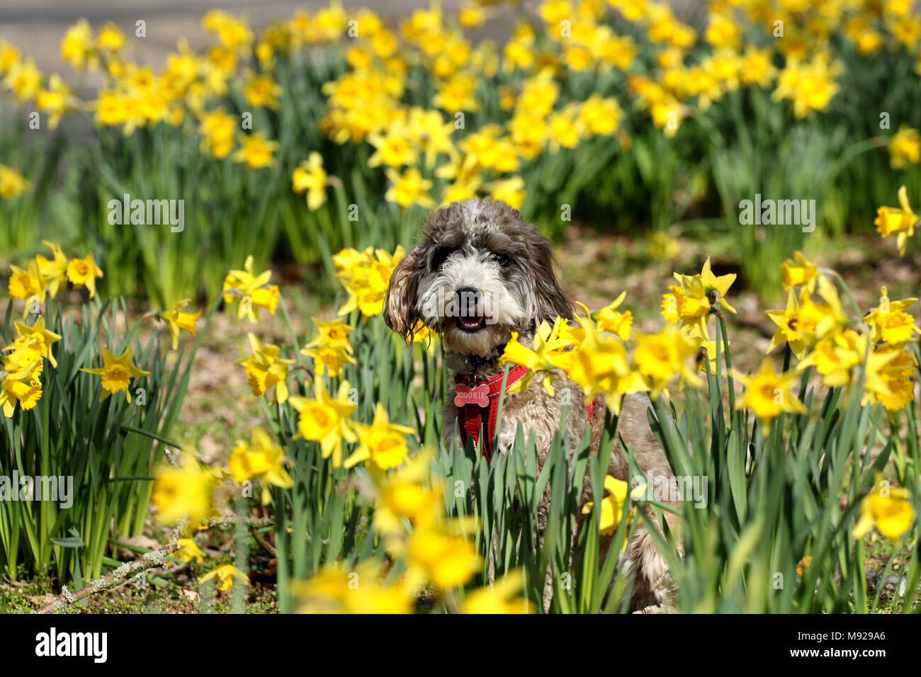 Peterborough, Cambridgeshire, on March 21, 2018. Spring is finally making an appearance as Cookie the cockapoo dog stands amongst these yellow daffodils in Peterborough, Cambridgeshire, on March 21, 2018. Credit: Paul Marriott/Alamy Live News Stock Photo