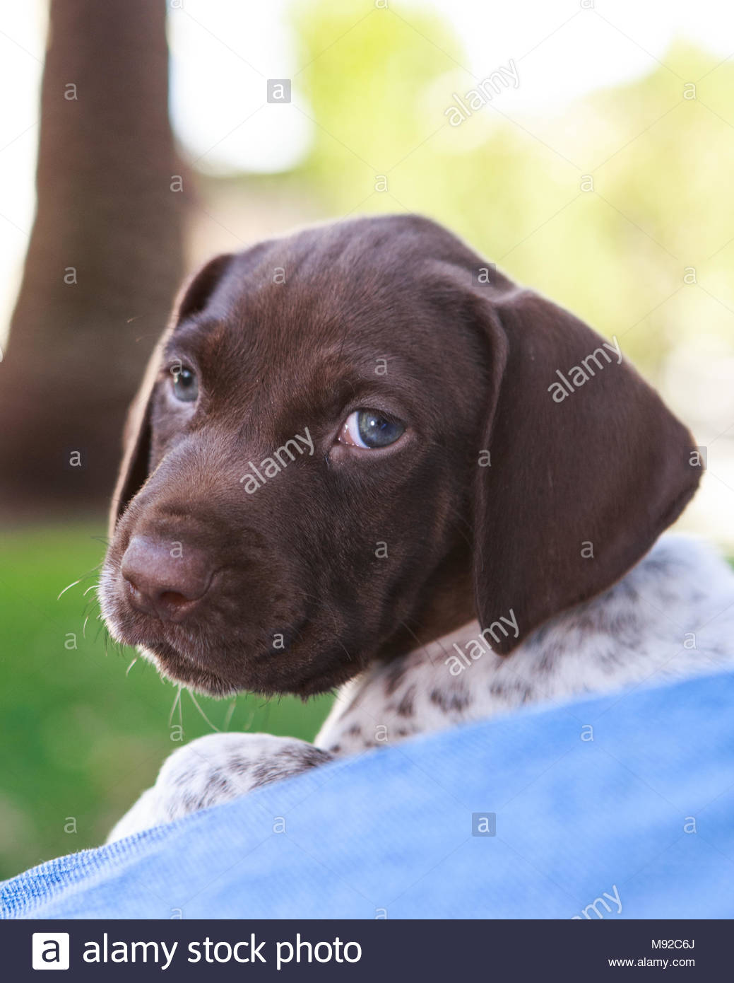 Close-up of German Shorthaired pointer puppy face looking toward camera - Stock Image