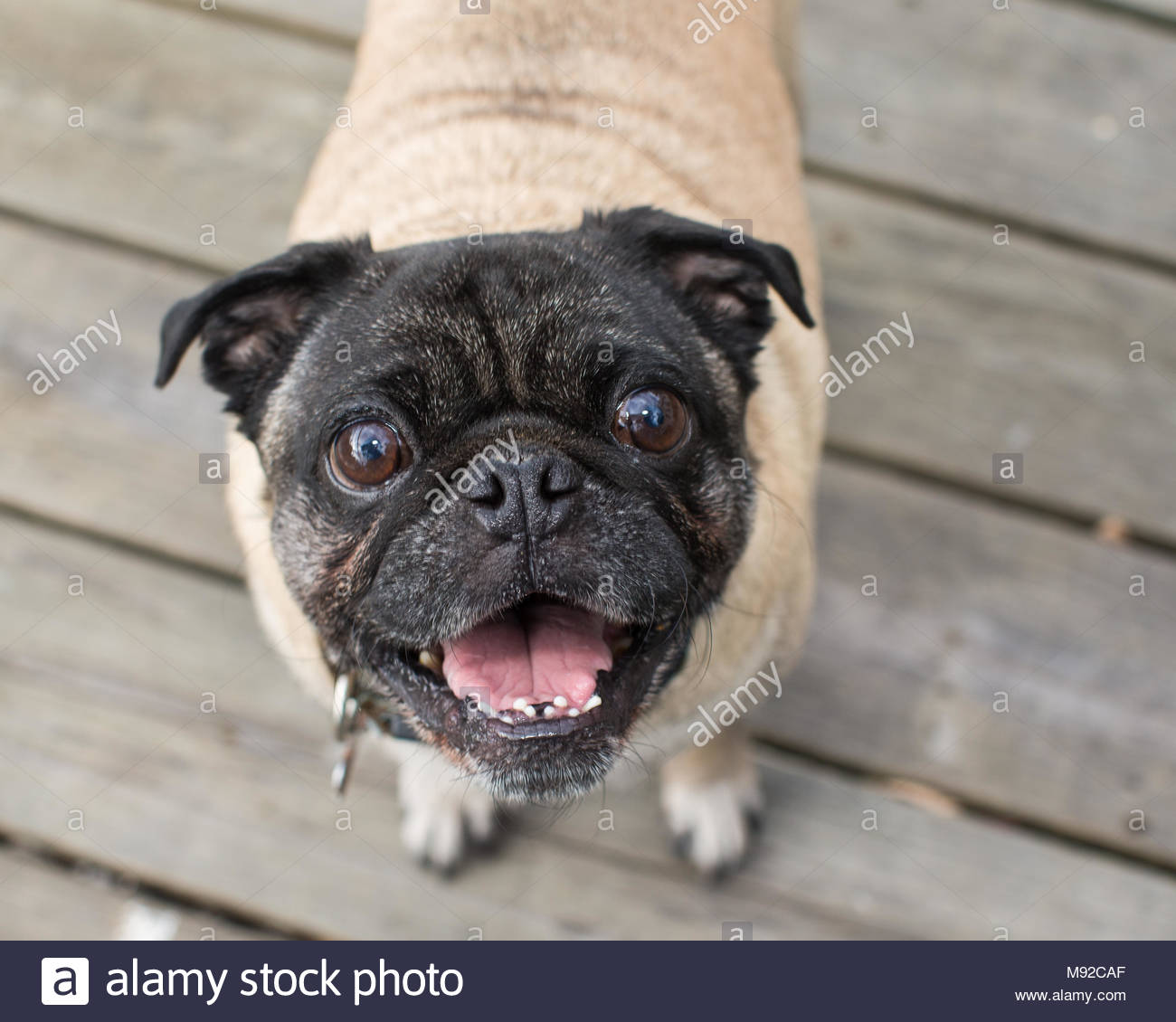 Happy-looking smiling pug with black face and tan body looking up at camera - Stock Image